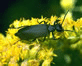 Black-Blister-Beetle