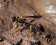 Black-and-Yellow-Mud-Dauber