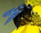 CA-Carpenter-Bee1